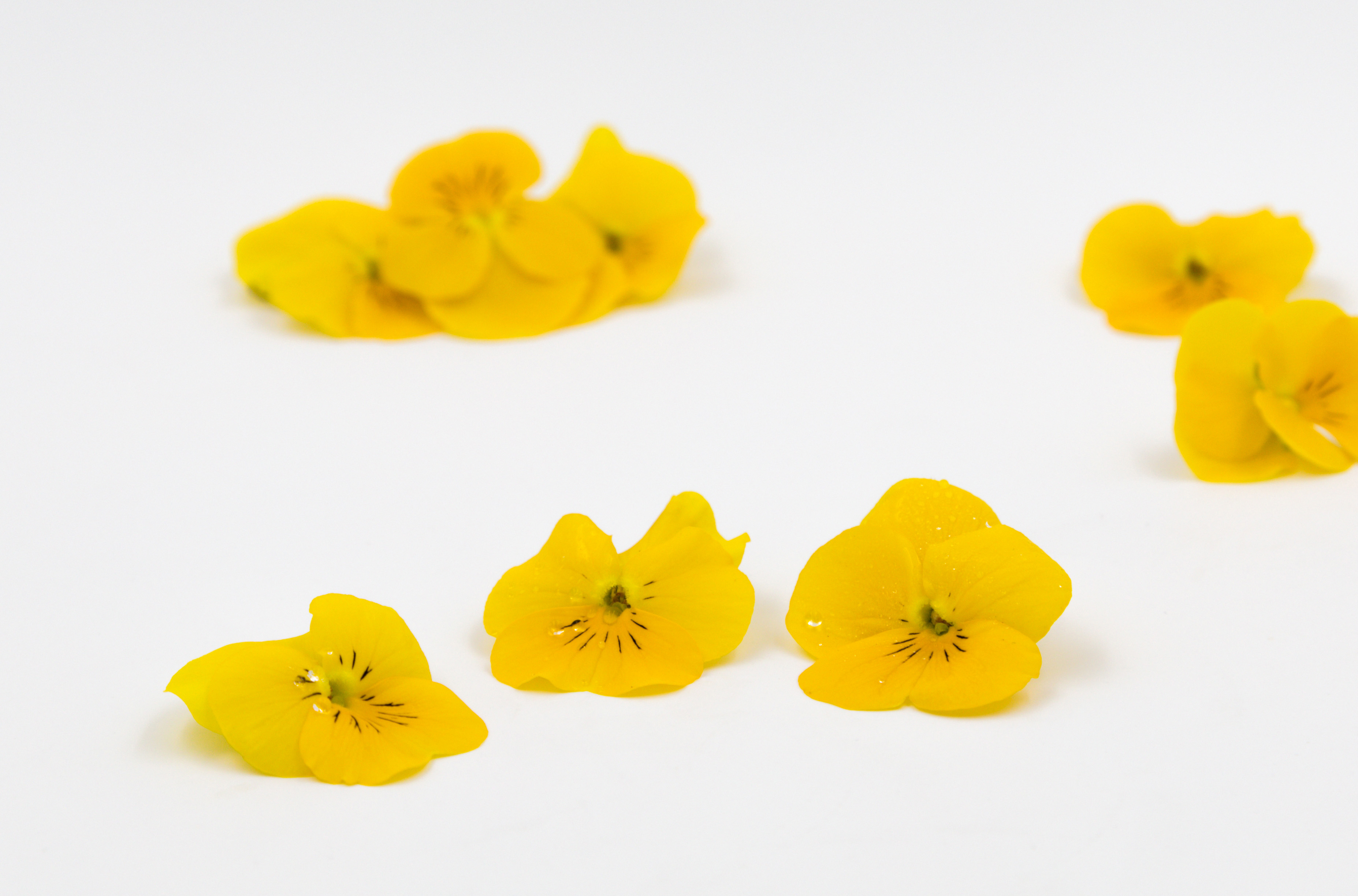 Blüten Hornveilchen